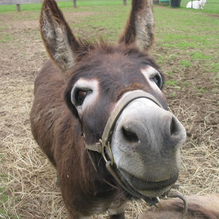 Farm donkeys - photo#10
