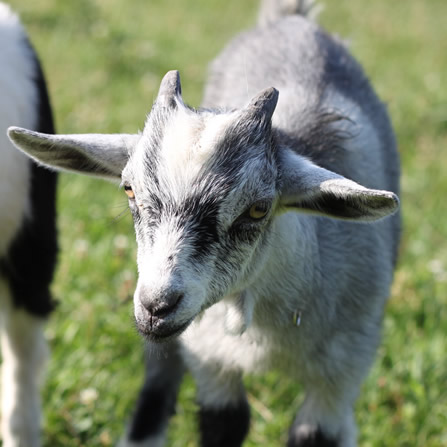 About the goats at Clark's Elioak Farm - the Petting Farm In