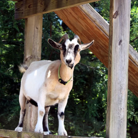 About the goats at Clark's Elioak Farm - the Petting Farm In the