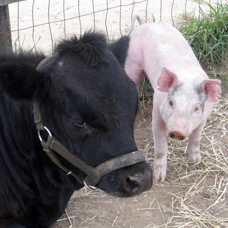 About the pigs at Clark's Elioak Farm - the Petting Farm In