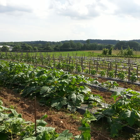 Fresh Vegetables grown and for sale at Clarks Farm